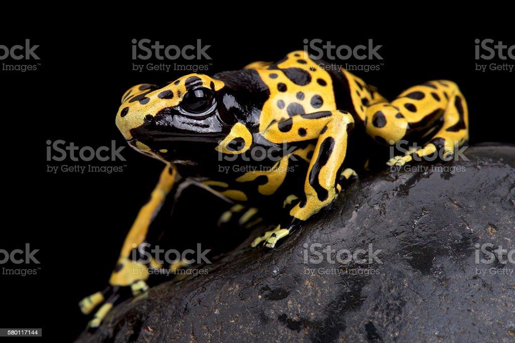 yellow-banded poison dart frog (Dendrobates leucomelas) stock photo