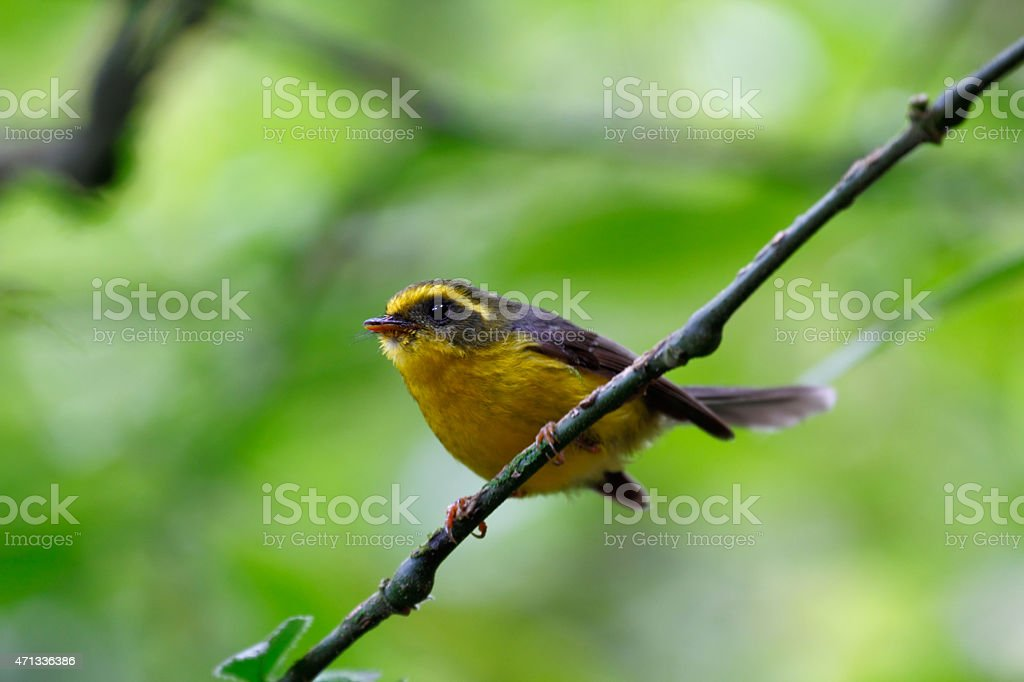Yellow-bellied Fantail stock photo