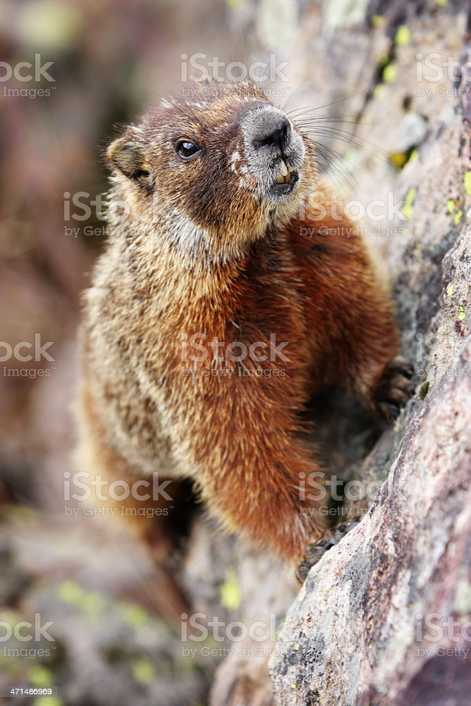 Yellow-Bellied Marmot Marmota flaviventris royalty-free stock photo