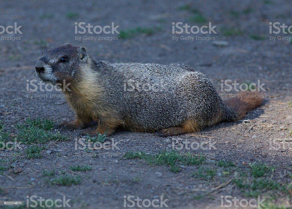 Yellow-bellied Marmot stock photo