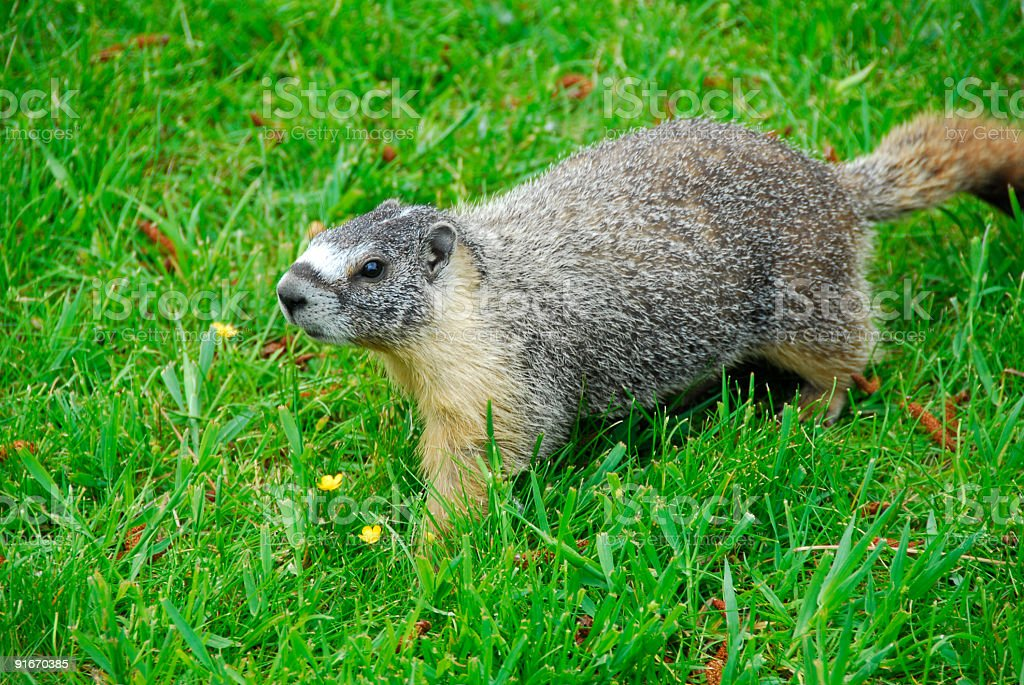 Yellow-bellied marmot royalty-free stock photo