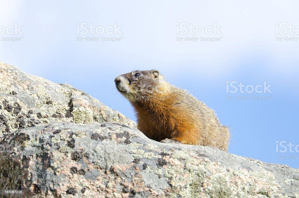 Yellow-bellied Marmot, Yellowstone National Park royalty-free stock photo