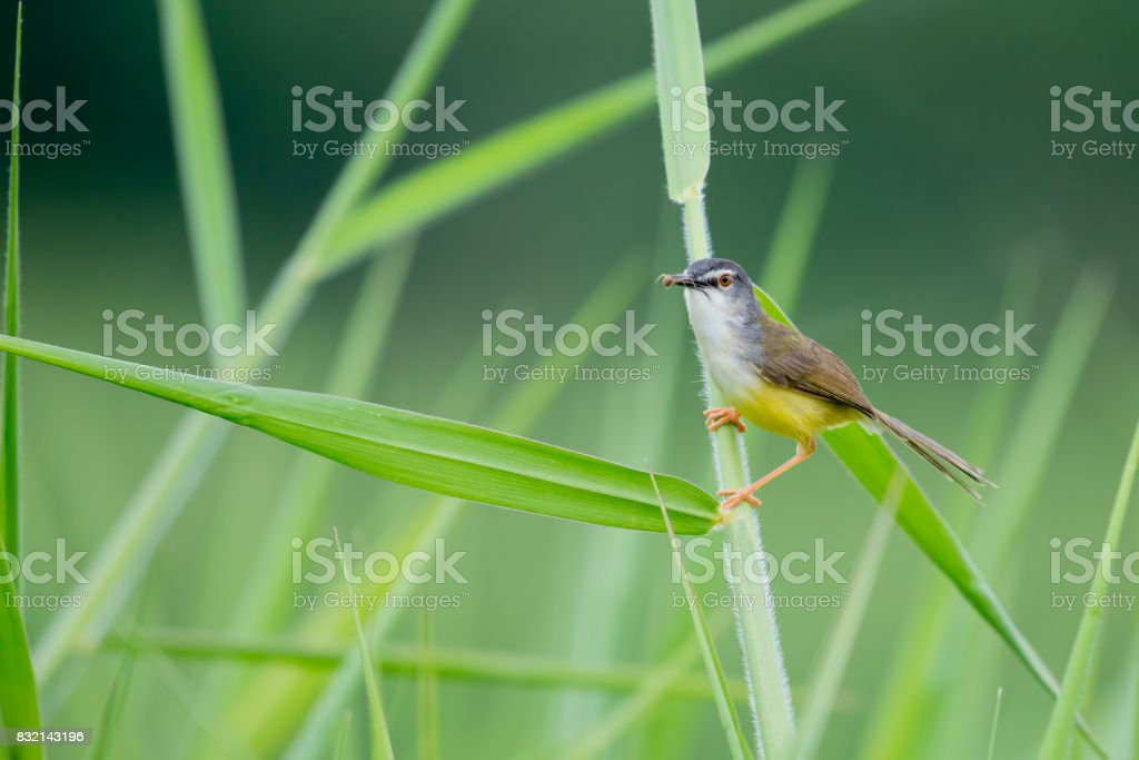 Yellow-bellied Prinia bird stock photo