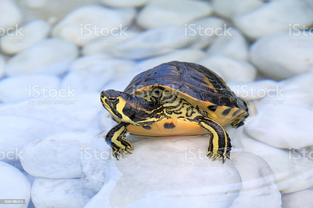 Yellow-bellied slider (Trachemys scripta scripta) in a water stock photo
