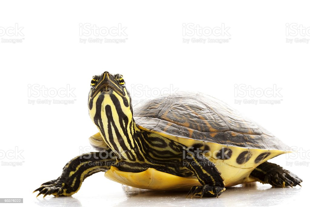 Yellow-bellied Slider royalty-free stock photo