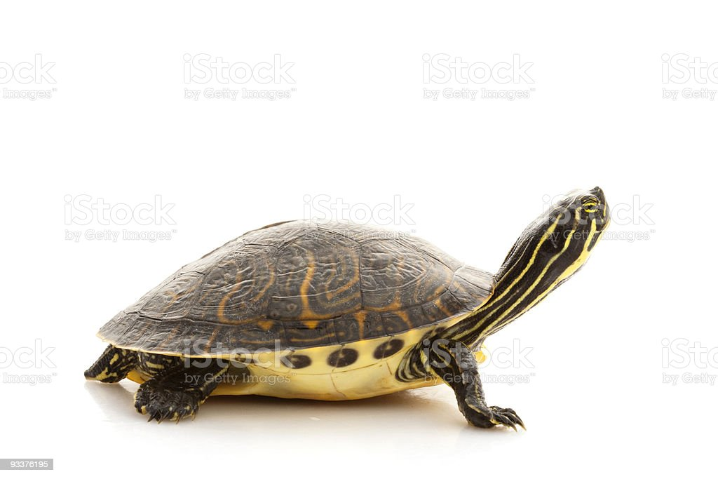 A Yellow-bellied slider turtle stock photo