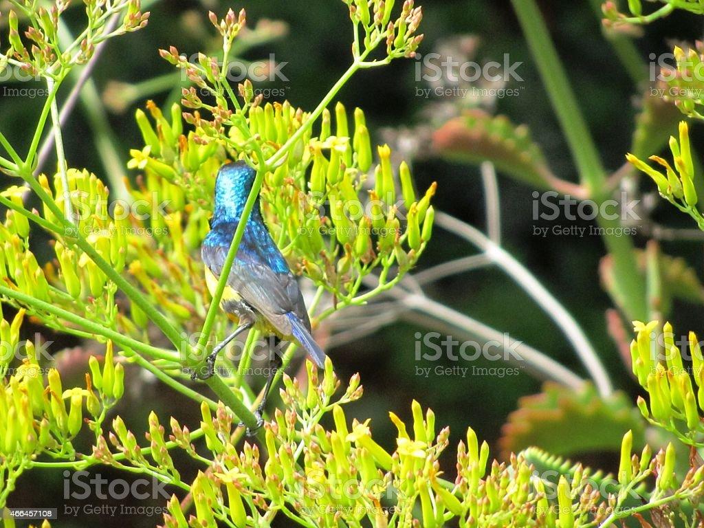 Yellow-bellied Sunbird or variable sunbird (Cinnyris venustus) in Kenya stock photo