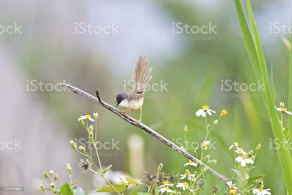 Yellow-bellied Wren Warbler stock photo