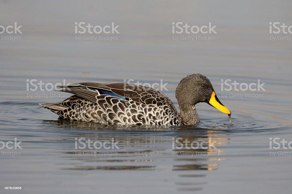 Yellow-billed duck, Anas undulata stock photo
