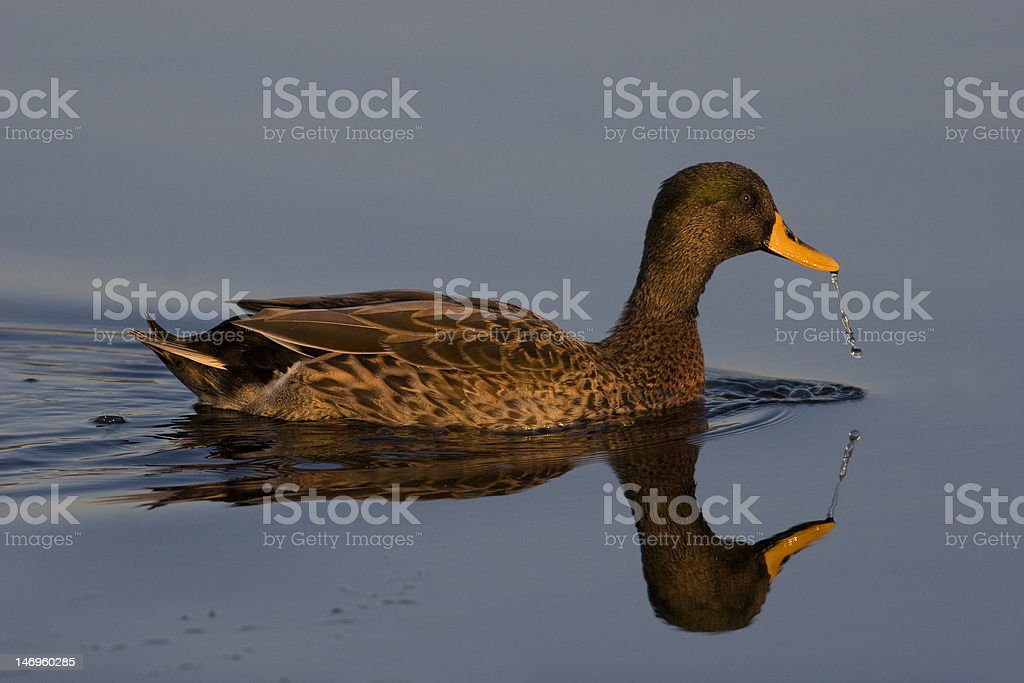 Yellow-billed duck and reflection stock photo