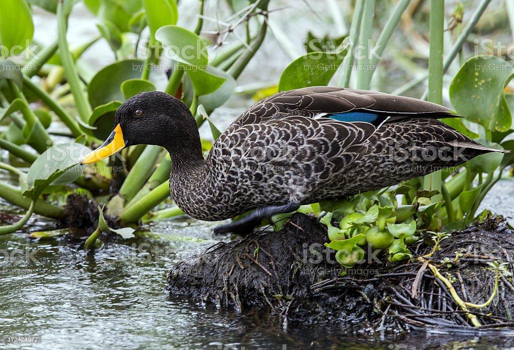Yellow-billed duck is running stock photo