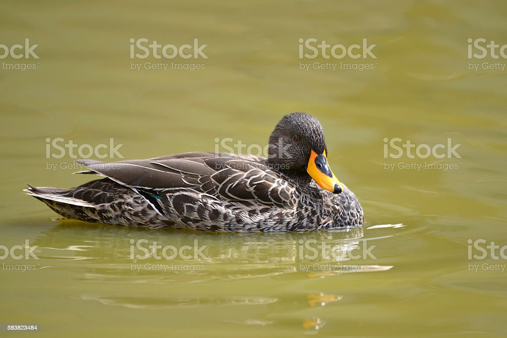 Yellow-billed duck on water stock photo