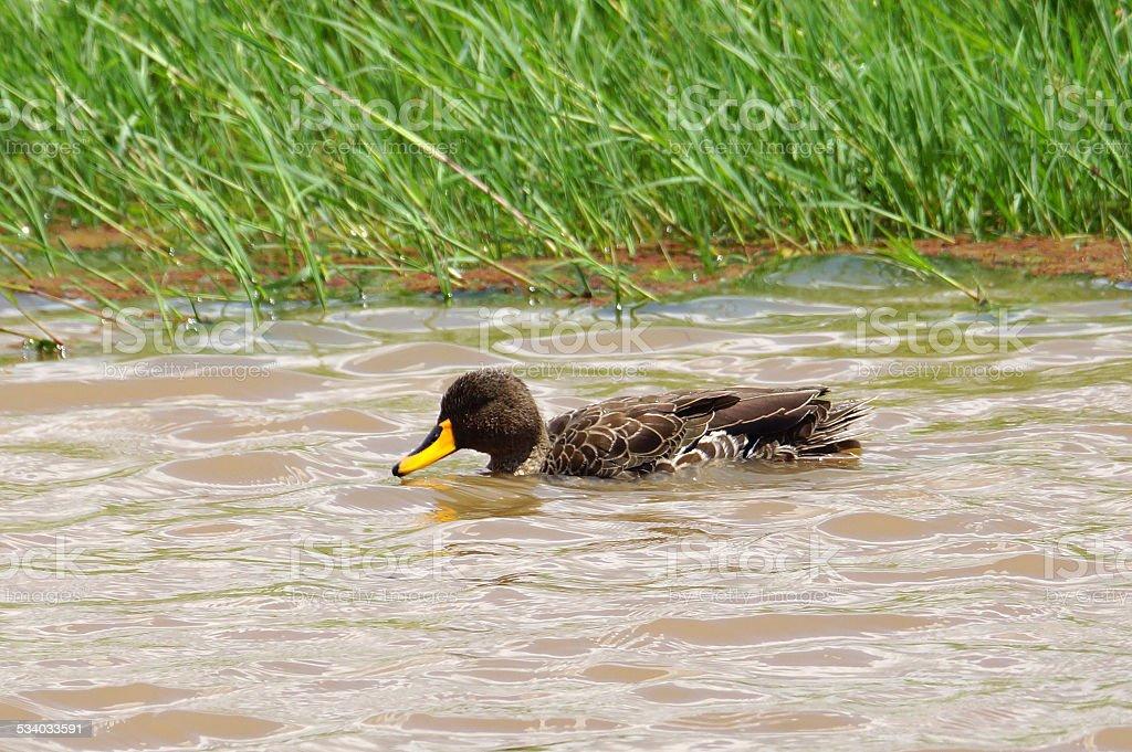 Yellow-billed duck stock photo
