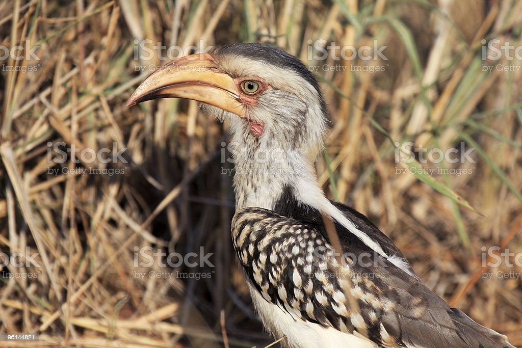 Yellow-billed Hornbill in Kruger Park, South Africa royalty-free stock photo