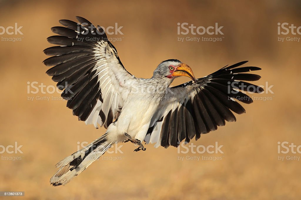 Yellow-billed hornbill landing stock photo
