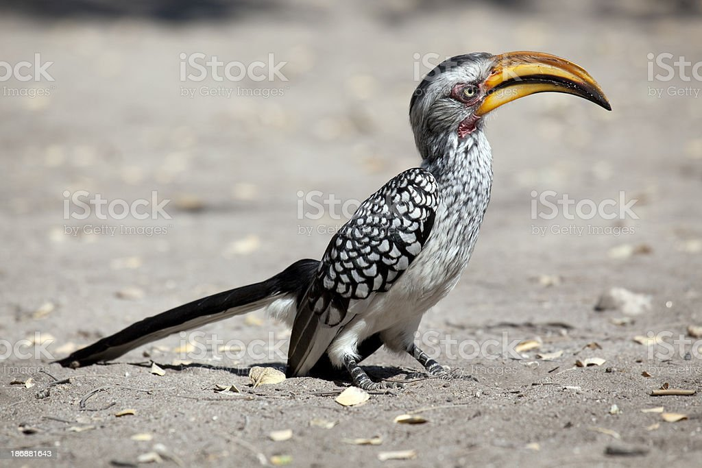 Yellow-billed Hornbill stock photo