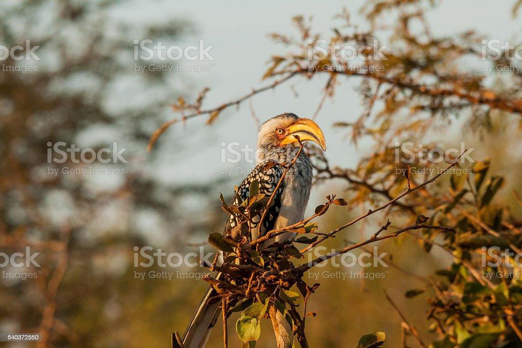Yellowbilled Hornbill stock photo