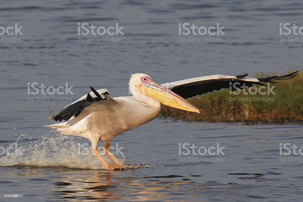 Yellow-billed pelican royalty-free stock photo