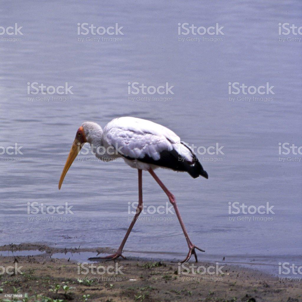 Yellowbilled Stork stock photo