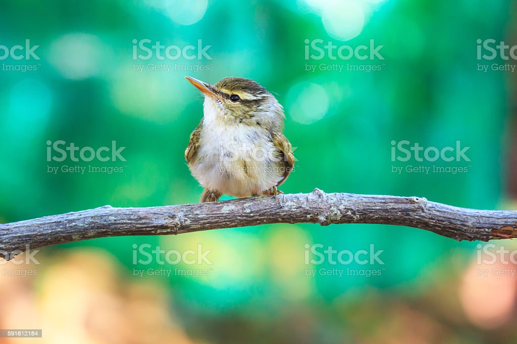 Yellow-browed Warbler on the branch in nature stock photo