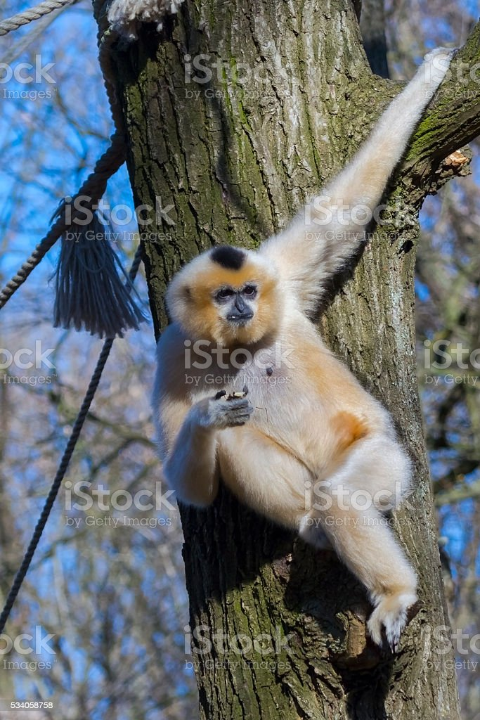Yellow-cheeked gibbon stock photo