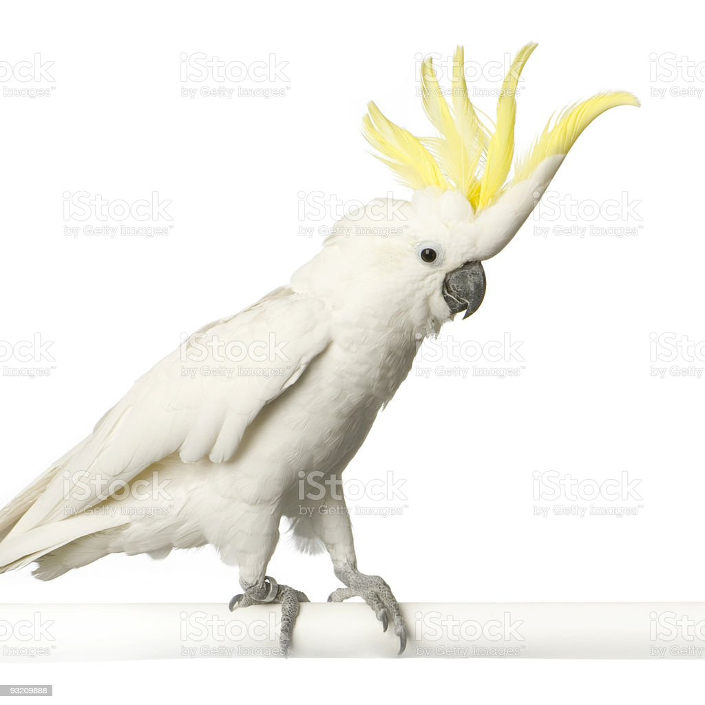 Yellow-crested Cockatoo royalty-free stock photo