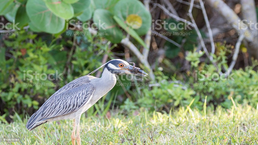 Yellow-Crowned Night-Heron Eating a Crab, J.N. ''Ding'' Darling stock photo