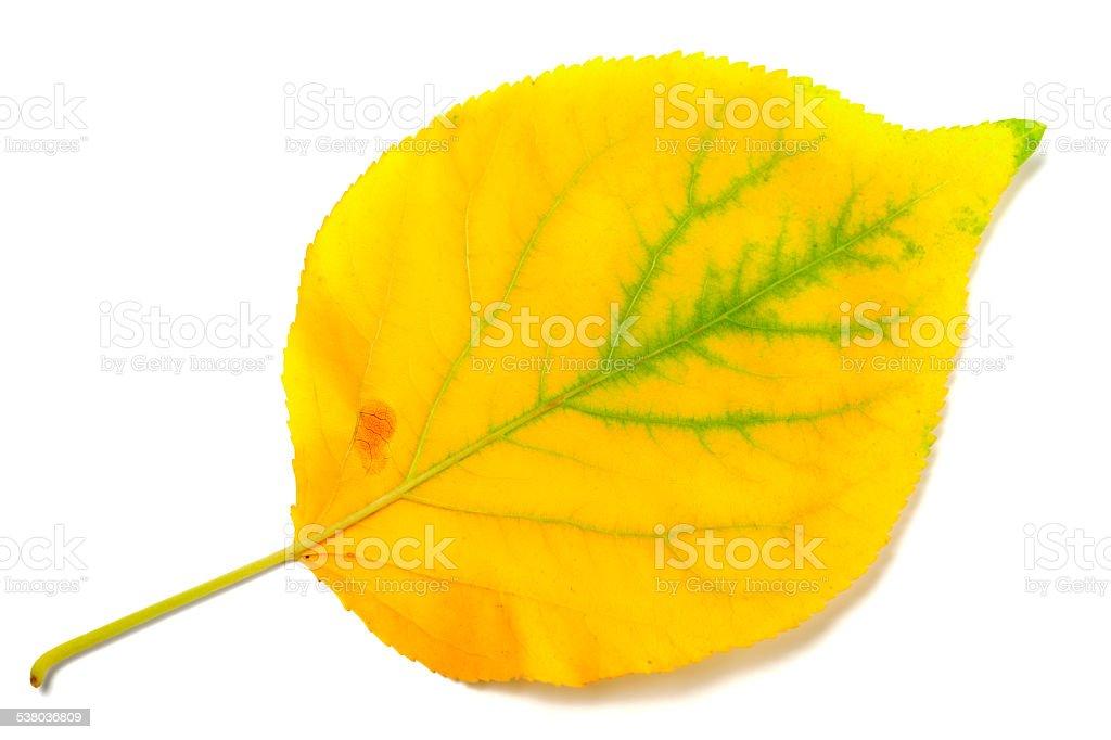 Yellowed autumn poplar leaf stock photo