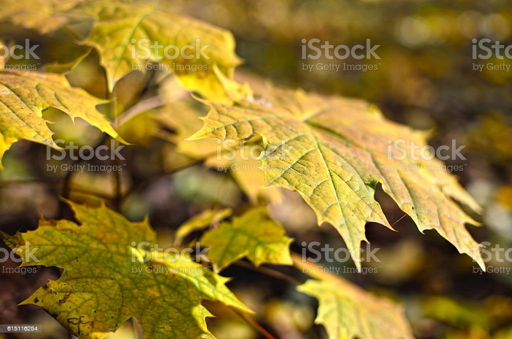 Yellowed maple leaves in the autumn forest close up. stock photo
