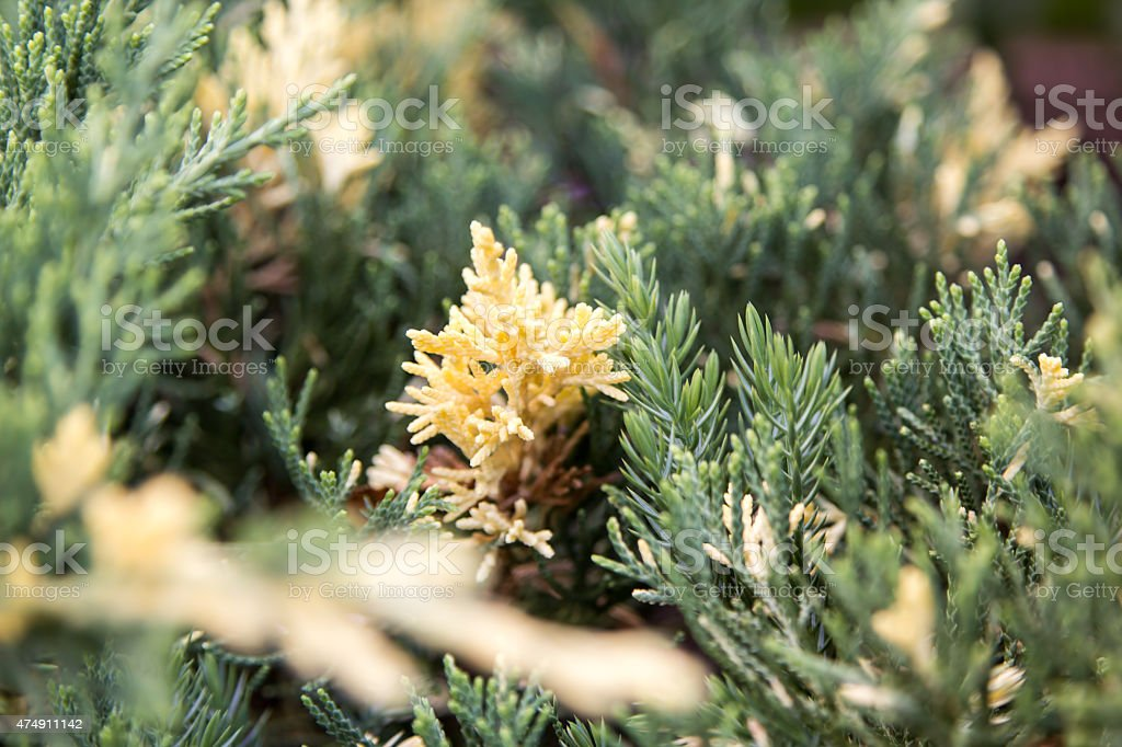 yellowed sprig of juniper on a bush stock photo