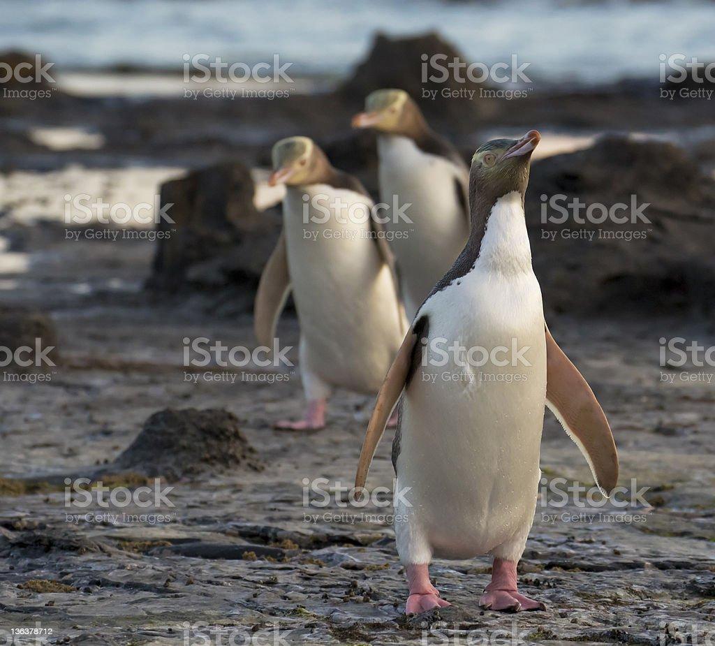 Yellow-Eyed Penguins Walking Home stock photo