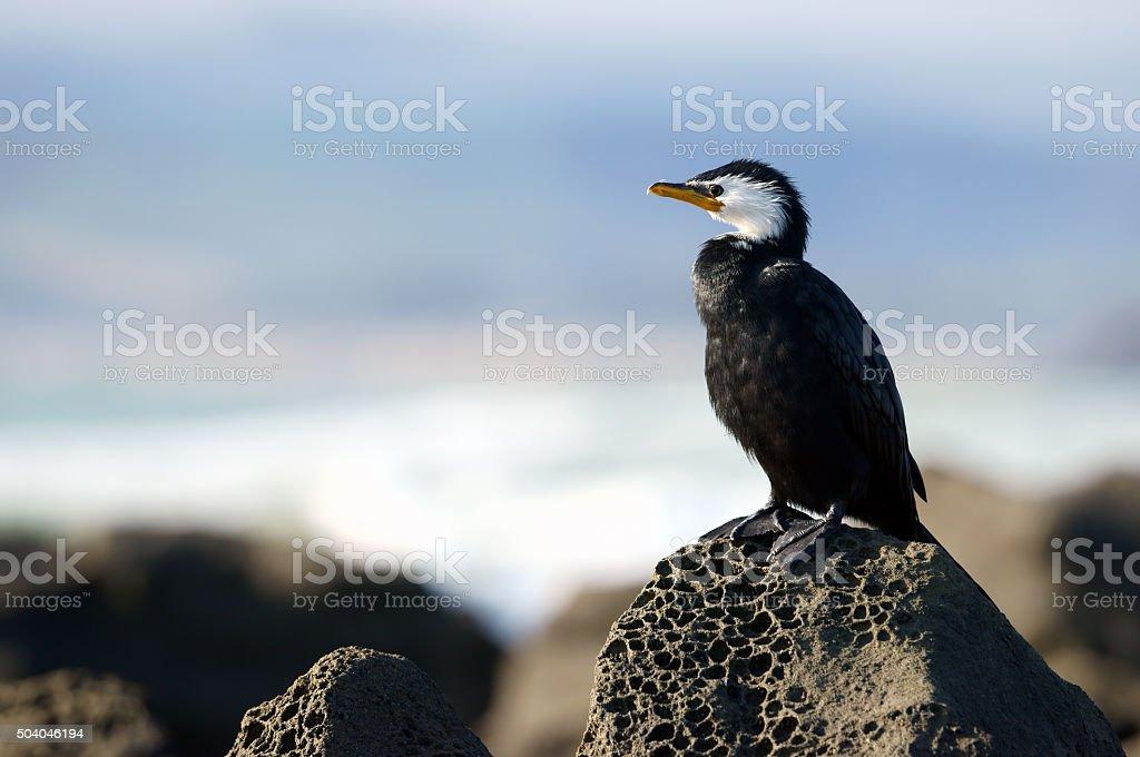 yellow-faced cormorant stock photo