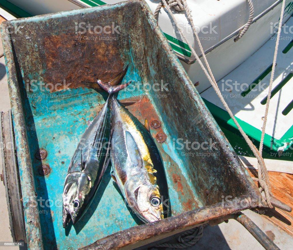 Yellowfin Ahi Tuna and Bonita Mackerel on their way to the fillet table in San Jose Del Cabo Baja Mexico BCS stock photo