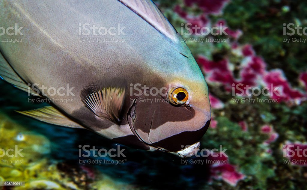 Yellowfin Surgeonfish - Thailand (Colors) royalty-free stock photo