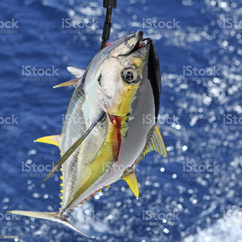 Yellowfin Tuna Catch stock photo