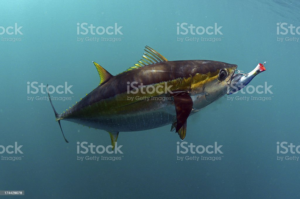 yellowfin tuna fish with a lure in its mouth stock photo