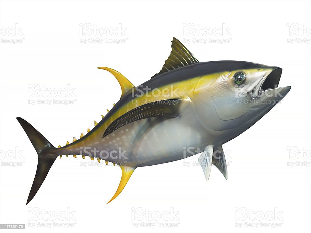 Yellowfin tuna, isolated stock photo