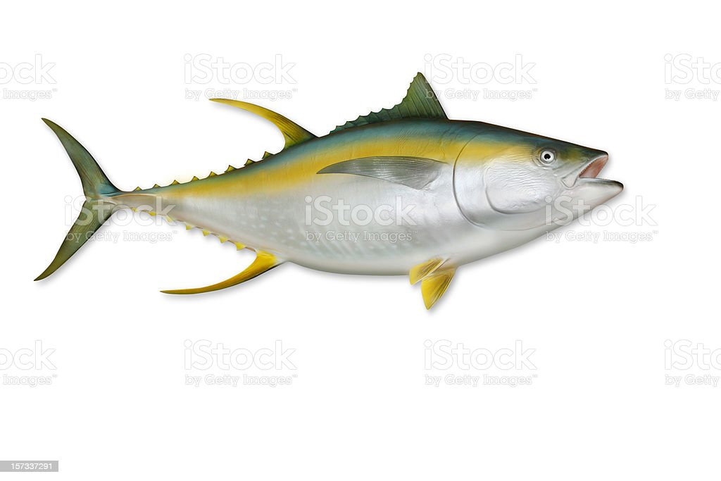 Yellowfin Tuna with Clipping Path stock photo