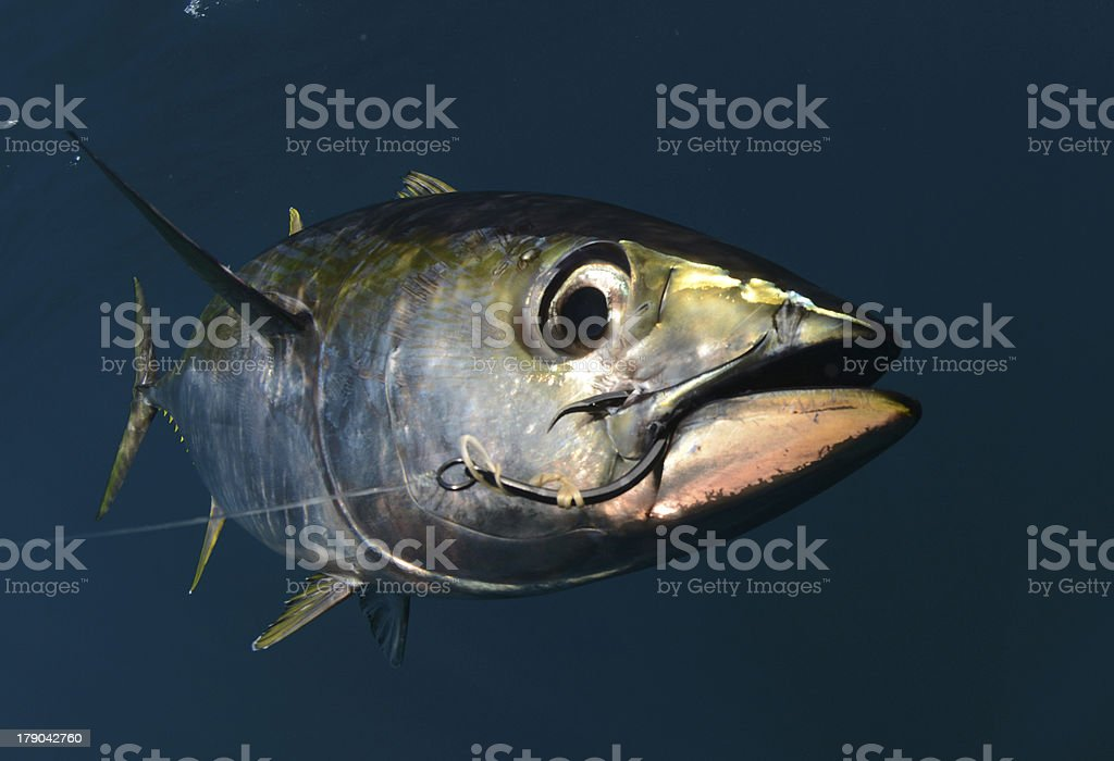 yellowfin tuna with hook in its mouth stock photo