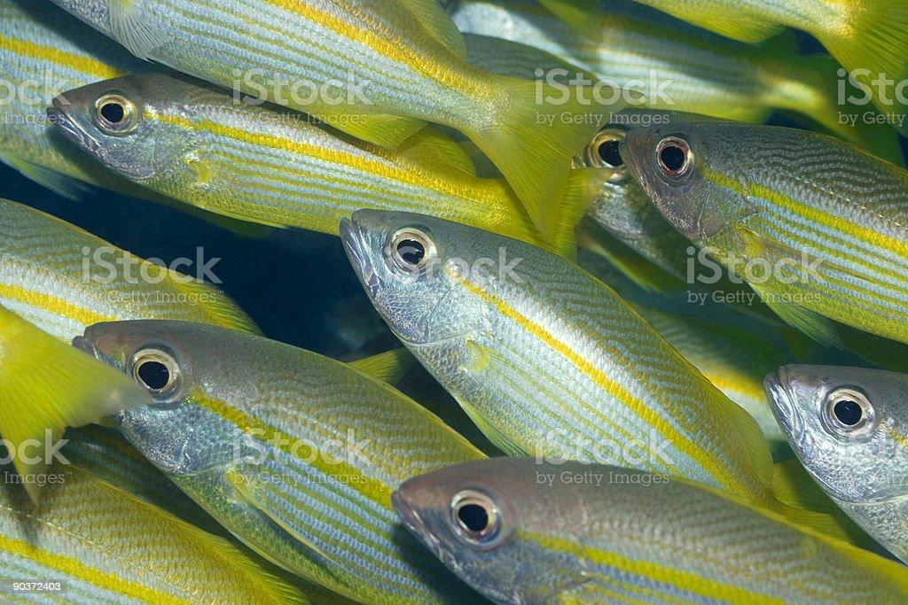 Yellowfins Goatfishes (Mulloides Vanicolensis) stock photo