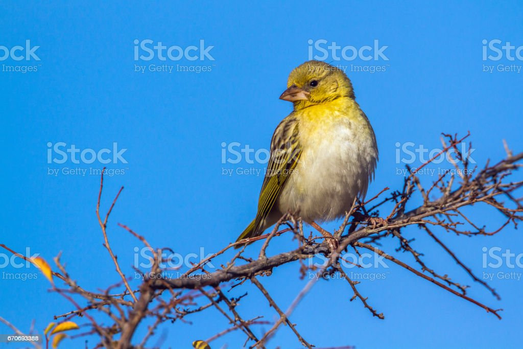 Yellow-fronted Canary in Kruger National park, South Africa stock photo