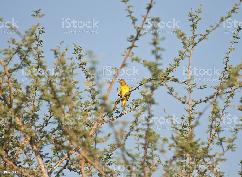 yellow-fronted canary on a bush stock photo