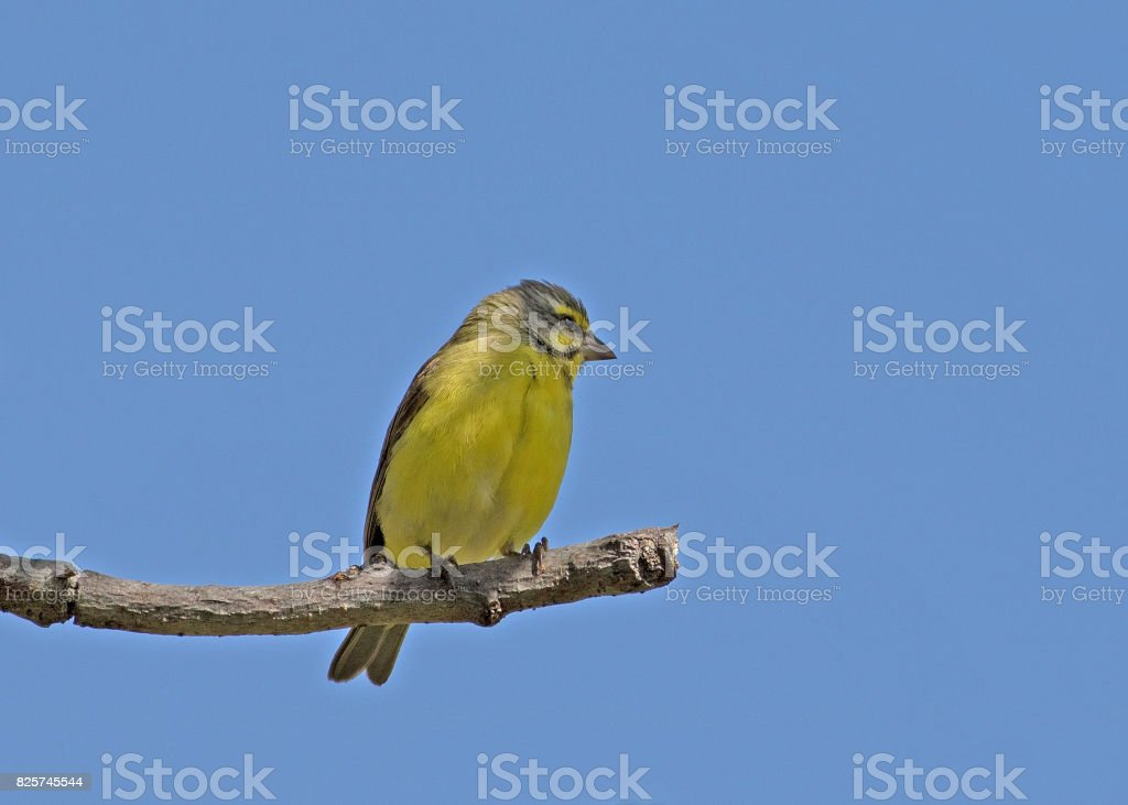 Yellow-fronted canary with backdrop of clean blue sky stock photo