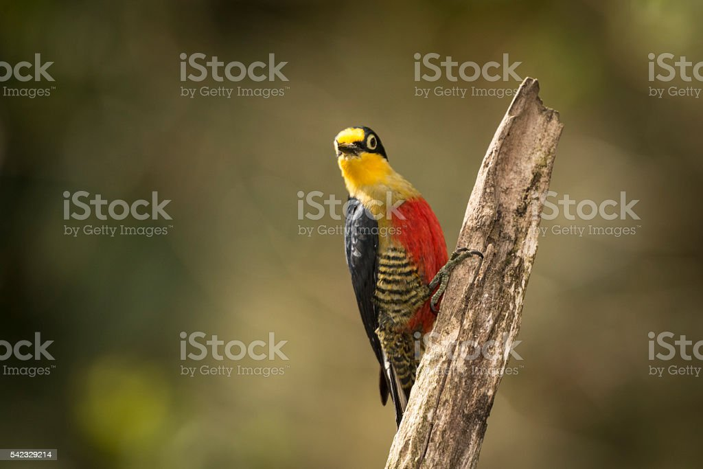 Yellow-fronted woodpecker (Melanerpes flavifrons) stock photo