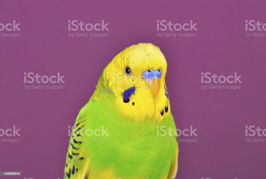Yellow-green budgerig  parrot close-up royalty-free stock photo