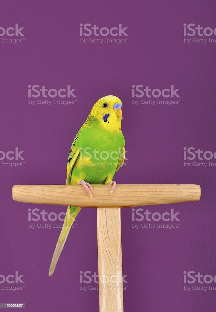 Yellow-green budgerigar parrot perched on a stand royalty-free stock photo