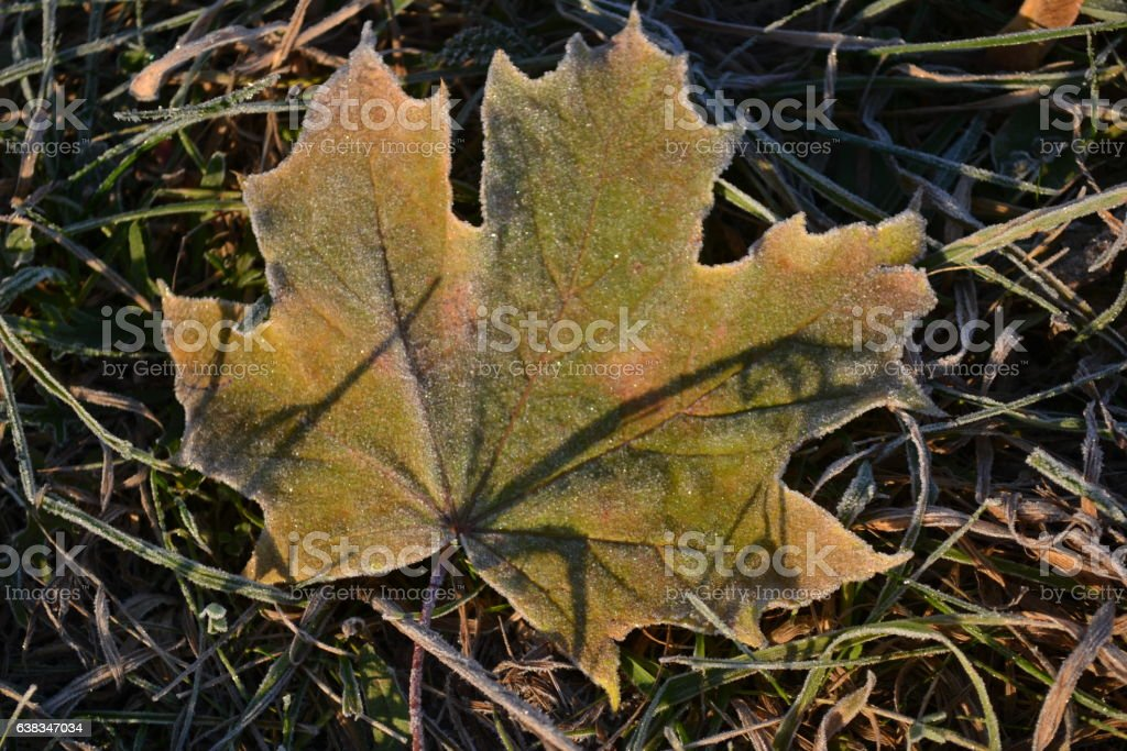 yellow-green leaves covered with frost maple lying on green grass stock photo