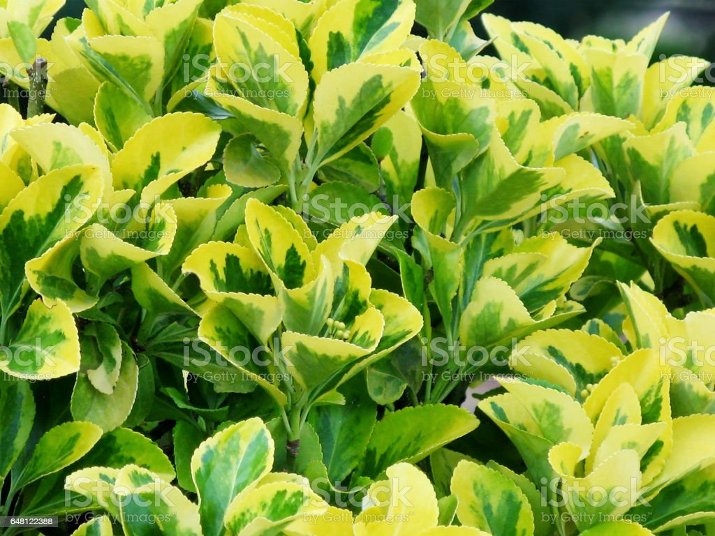 Yellow-green leaves of euonymus. stock photo