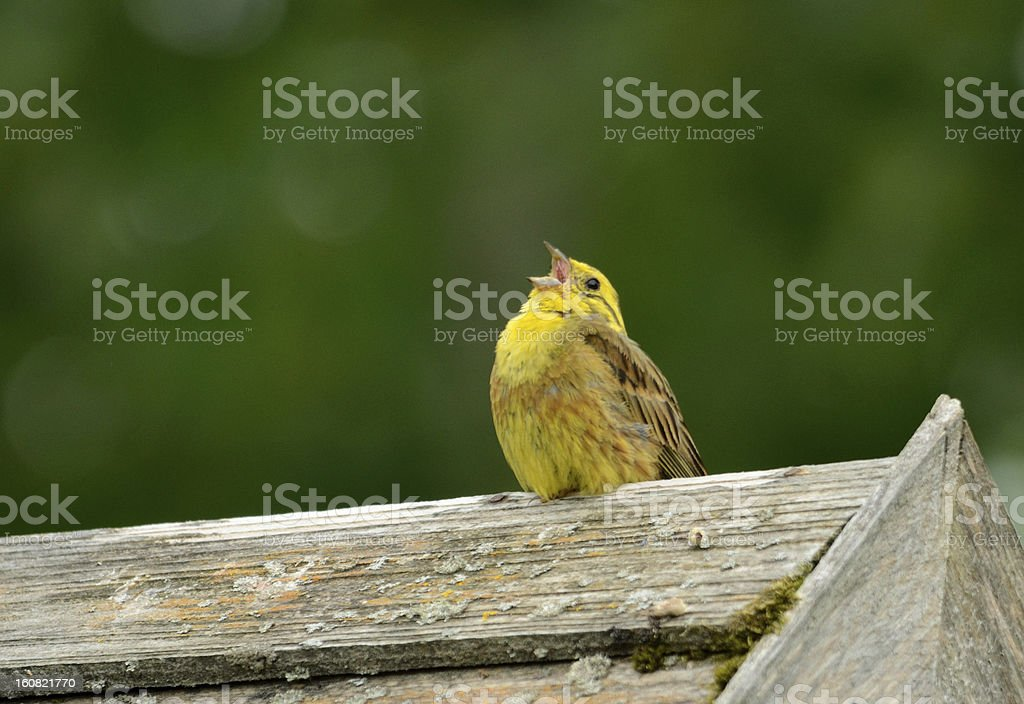 Yellowhammer (male) royalty-free stock photo
