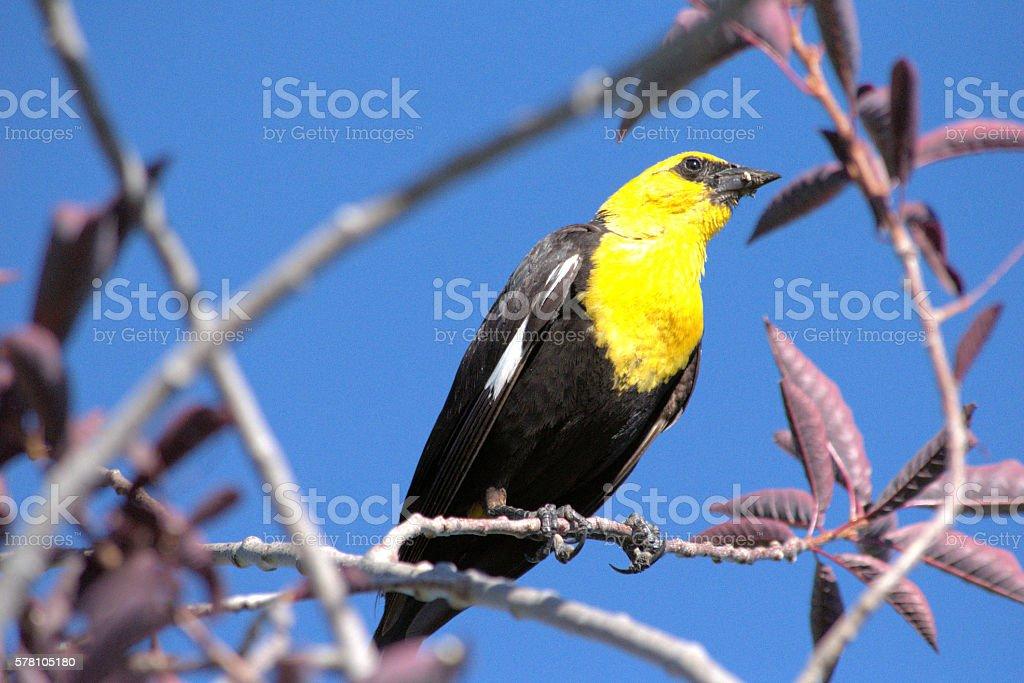 Yellow-headed Blackbird in Tree stock photo